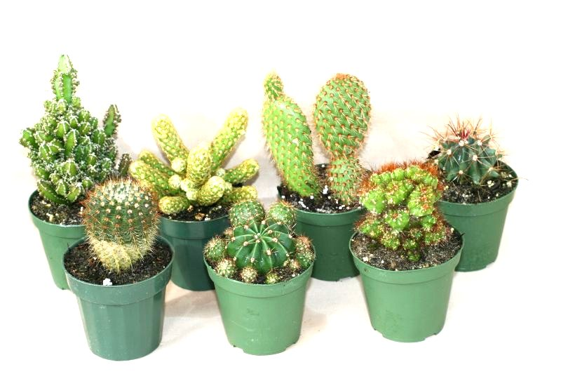 "3"" Cactus Assortment"